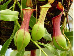 Nepenthes (Непентес)