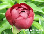Пион Чоколэйт Солджэ (Paeonia Chocolate Soldier)