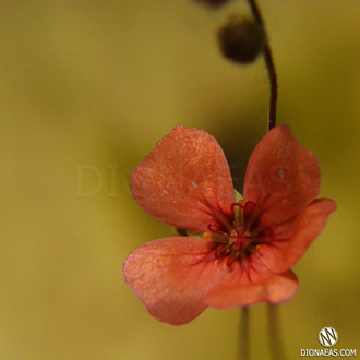 "Drosera ""Pulchella"" (orange flower)"