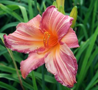 Лилейник Пинк Страйпс (Hemerocallis Pink Stripes)