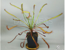 "Drosera capensis ""Giant"""