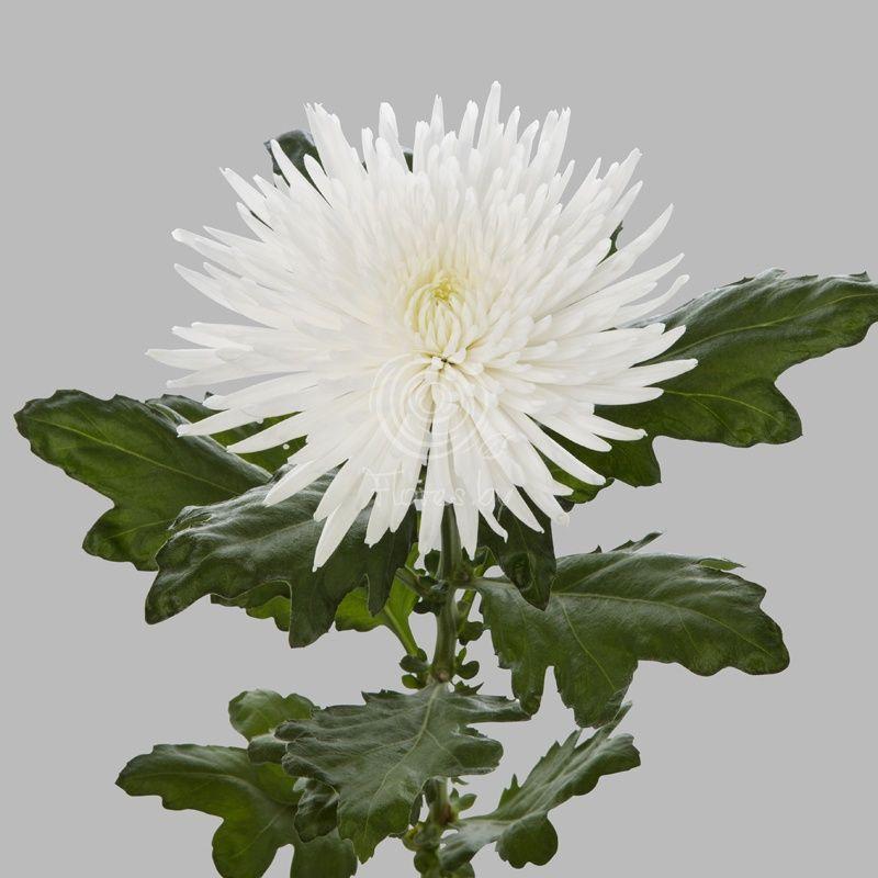 фото хризантема игольчатая