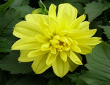 Георгина DAHLIA variabilis Figaro Yellow