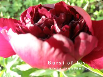 Пион Бёрст оф Джой (Paeonia Burst of Joy)