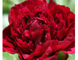 Пион Рэд Мэджик (Paeonia Red Magic/Hei Hai Bo Tao)