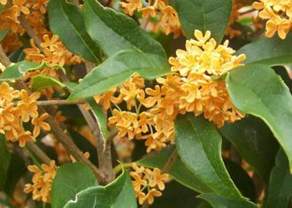 Османтус (Osmanthus fragrans) абсолю