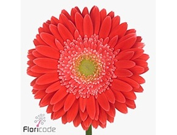 Gerbera diamond hooper