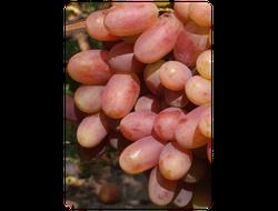 Столовый сорт винограда Преображение