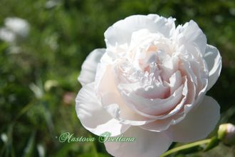 Paeonia Mother`s Choice