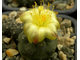 Copiapoa hypogaea KP 815 C (D=20mm) с 2-3 детками