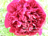 Пион Рэд Чарм (Paeonia Red Charm)