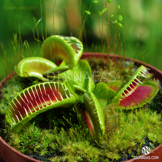 "Dionaea muscipula ""Jaws smiley"""
