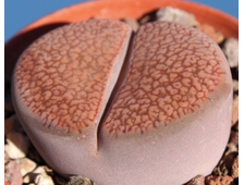 Lithops aucampiae Niekerkshoep (MG-1541.991) - 5 семян
