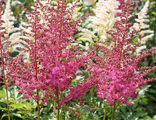 Астильба Лав энд Прайд (Astilbe Love and Pride)