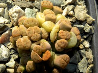 Lithops schwantesii C079 (MG) monstr