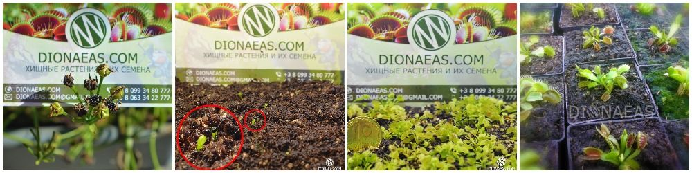 Семена Венериной Мухоловки Дионеи