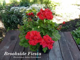 Brookside Fiesta фото