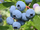 Голубика «Река» /  Blueberries «River»