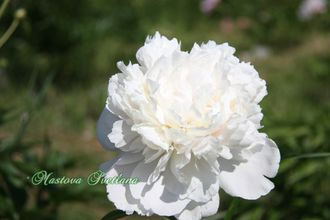 Paeonia Princess Bride