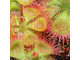 "Drosera ""Sessilifolia"""