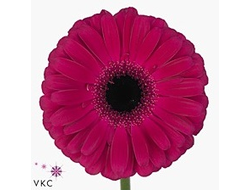 Gerbera diamond aladin