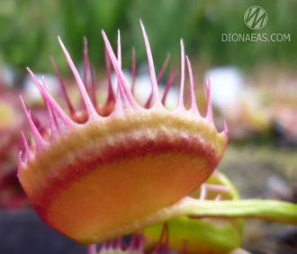 Dionaea muscipula Cross teeth#1