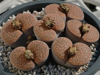 Lithops fulviceps C221 (MG-1589)  - 5 семян