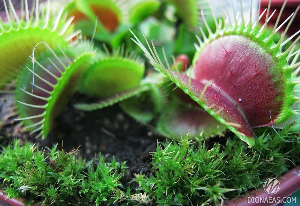 венерина мухоловка семена купить в новосибирске