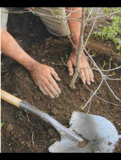 Посадка лиственных декоративных деревьев и кустарников