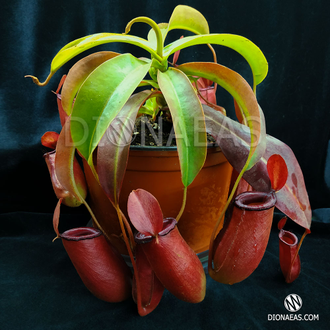 Nepenthes Bloody Mary