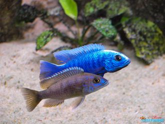 Хаплохромис Электрик блю (Haplochromis Electric Blue)