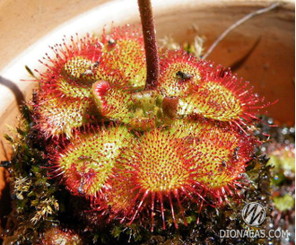 "Drosera sp. ""South Africa"""