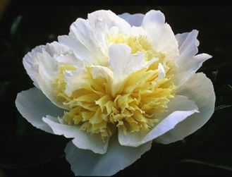 Пион Хани Голд (Paeonia Honey Gold)