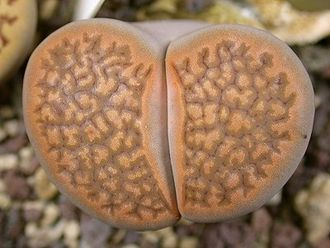 Lithops hallii (brown form) С 136 - 5 семян