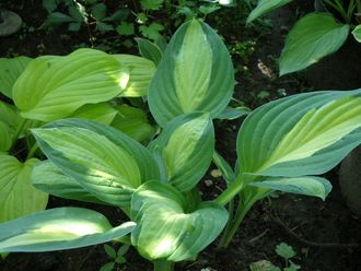 Хоста Стриптиз (Hosta Striptease)