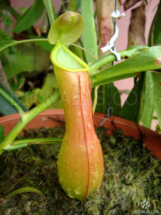 "Nepenthes ""Alata"""