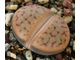 Lithops schwantesii C080 (MG) - 5 семян