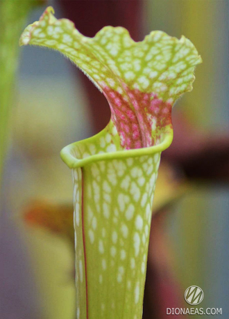 "Sarracenia ""Leucophylla - red stripe throat"""