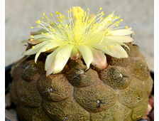 Copiapoa hypogaea  - 5 семян