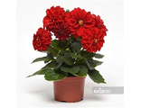 Георгина DAHLIA FIGARO RED SHADES