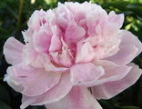 Пион Сиинг Блю (Paeonia Seeing Blue)