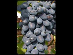 Надежда АЗОС. Саженцы кинельского винограда