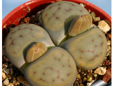 Lithops schwantesii 'triebneri' Tiras top (MG-1729.15) - 5 семян