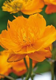 Купальница Голден Квин (Trollius Golden Queen)