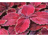 Колеус COLEUS WIZARD®VELVET RED