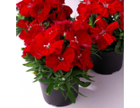 Гвоздика Dianthus chinensis Diana scarlet F1